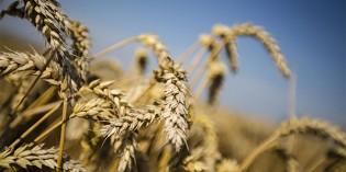 Même sur le blé la France perd !